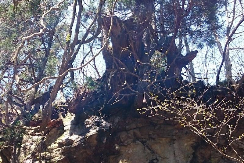 天然杉と里山散策
